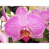 Marcador de nevadura silicona pack 3 Flor Completa Orquidea Phalaenopsis SK
